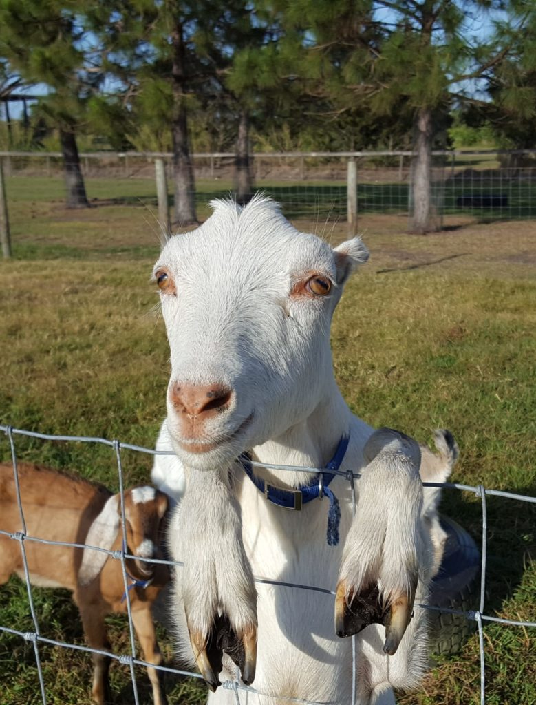Circle Bar C Dairy Goats