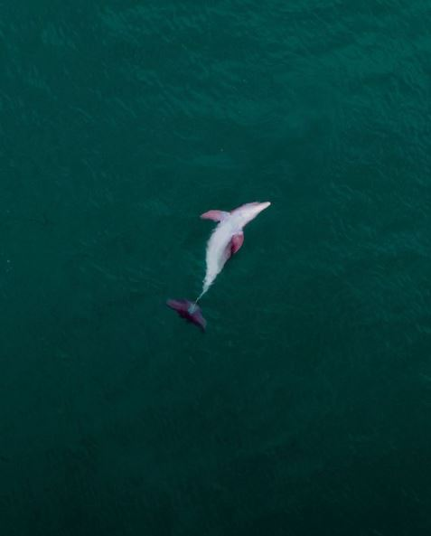 Dolphin Swimming in South Florida